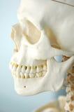 Anatomie van menselijke schedel Stock Afbeeldingen