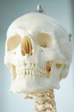 Anatomie van menselijke schedel Stock Foto's