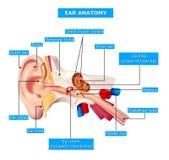 Anatomie van oor stock illustratie