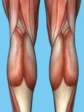 Anatomie van rug van benen royalty-vrije illustratie