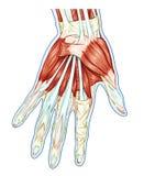 Anatomie van spiersysteem royalty-vrije illustratie