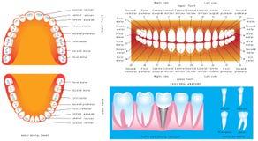 Anatomie van tanden Royalty-vrije Stock Foto
