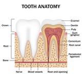 Anatomie van tanden Stock Foto
