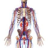 Anatomie van urinesysteem met aders en skelet Royalty-vrije Stock Foto