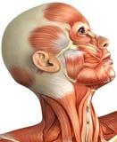 Anatomie van vrouwelijk hoofd Stock Foto