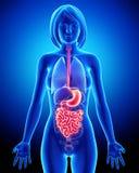 Anatomie van vrouwelijk spijsverteringssysteem Stock Afbeeldingen
