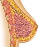 Anatomie van vrouwelijke borst stock illustratie