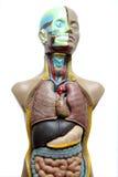 Anatomiemodel Royalty-vrije Stock Afbeeldingen