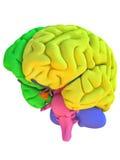 Anatomiemodell des menschlichen Gehirns mit farbigen Regionen stock abbildung
