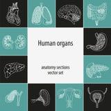 Anatomiesatz der menschlichen Organe Stockbild