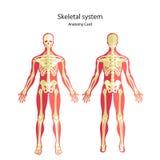 Anatomihandbok av det mänskliga skelettet Didaktiskt bräde för anatomi av det mänskliga beniga systemet Främre och bakre sikt Arkivbilder