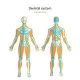 Anatomihandbok av det mänskliga skelettet Didaktiskt bräde för anatomi av det mänskliga beniga systemet Främre och bakre sikt stock illustrationer