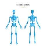Anatomihandbok av det mänskliga skelettet Didaktiskt bräde för anatomi av det mänskliga beniga systemet Främre och bakre sikt vektor illustrationer