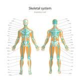 Anatomihandbok av det mänskliga skelettet med förklaringar Didaktiskt bräde för anatomi av det mänskliga beniga systemet Främre o stock illustrationer