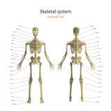 Anatomihandbok av det mänskliga skelettet med förklaringar Didaktiskt bräde för anatomi av det mänskliga beniga systemet Främre o Arkivfoton
