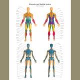 Anatomihandbok Manligt skelett och muskulöst system med förklaringar Framdel- och baksidasikt Fotografering för Bildbyråer