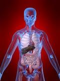 anatomihuman Fotografering för Bildbyråer
