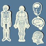 anatomihuman vektor illustrationer