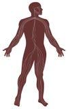 anatomihuman stock illustrationer