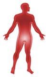 anatomihuman royaltyfri illustrationer
