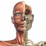 anatomihuvuddelkvinnlig Royaltyfri Foto