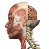anatomihuvuddelkvinnlig Royaltyfria Foton