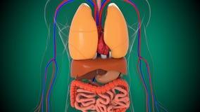 Anatomii ciała ludzkiego model, 3d renderingu tło, część ciało ludzkie model z organowym systemem royalty ilustracja