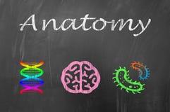Anatomikurs på skolasvart tavlabegrepp Royaltyfria Bilder