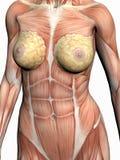 anatomikvinna Arkivbild