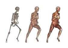 anatomikvinnligrunning Arkivfoton