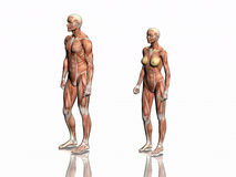anatomimankvinna stock illustrationer
