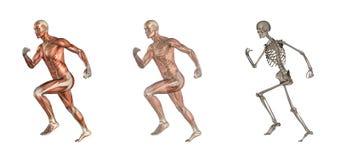 anatomimanligrunning royaltyfri illustrationer