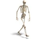 Anatomisch correct mannelijk skelet stock illustratie