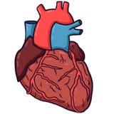 Anatomisch hart vector illustratie
