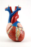Anatomisch hart Royalty-vrije Stock Foto