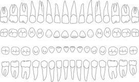 Anatomisch korrekte Zähne vektor abbildung