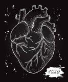 Anatomisch menselijk hart Gegraveerde gedetailleerde illustratie Hand dra vector illustratie