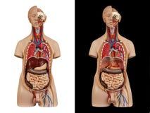 Anatomisch model unisex-torso stock foto's