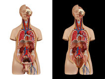 Anatomisch model unisex-torso royalty-vrije stock foto's