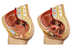 Anatomisch model vrouwelijk bekken royalty-vrije stock afbeelding
