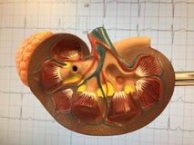 Anatomisch plastic model van menselijke nier stock fotografie