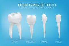 Anatomisch realistische illustratie van de types van menselijke tanden vector illustratie