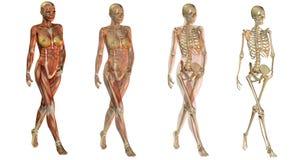 Anatomische Frauenkarosserien Stockfotos