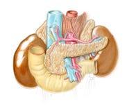 Anatomische illustratie van buik Stock Foto's