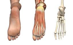 Anatomische Testblätter - Fuß Stockbild
