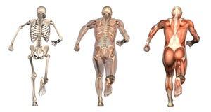 Anatomische Testblätter - Mann-Betrieb - rückseitige Ansicht Stockbild