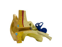 Anatomisches vorbildliches Ohr Lizenzfreies Stockfoto