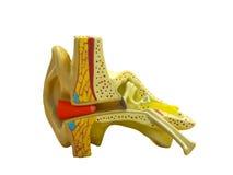Anatomisches vorbildliches Ohr Stockbilder