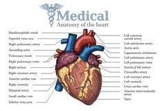Anatomisk mänsklig dragen affisch för hjärta hand med inskriften av ve Fotografering för Bildbyråer