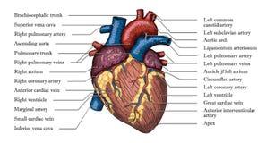 Anatomisk mänsklig dragen färgaffisch för hjärta hand med inskriften Arkivfoton